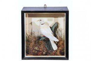 White-collared dove
