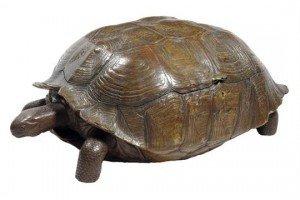 oak tortoise tantalus