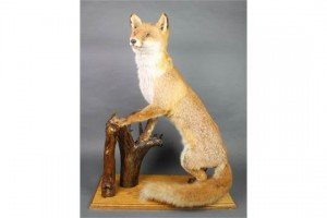 preserved figure of a fox