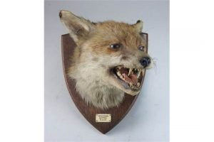 taxidermy fox's head
